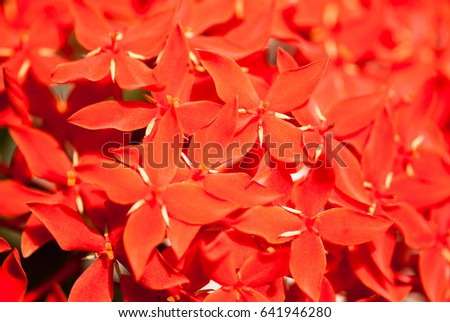 Ixora little red flowers, Maharashtra, India, Southeast, Asia #641946280