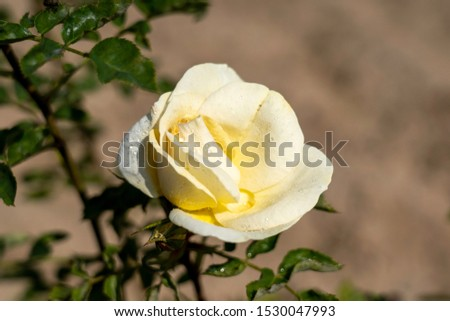 J.P. Connell rose flower in the field. Scientific name: Rosa 'J.P. Connell'  Flower bloom Color: Light yellow.