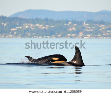 J17 Princess Angeline, a member of J-Pod in the endangered population of Southern Resident Killer Whales, swims through Haro Strait with her calf J53 Kiki in tow. #611208059