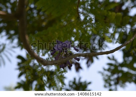 Jacaranda mimosifolia Medium-sized deciduous trees, 4-10 meters tall, transparent canopy White-brown bark, light purple leafy leaves with a delicate aroma Into a bunch of bunches, split into 5 lobes,  #1408615142