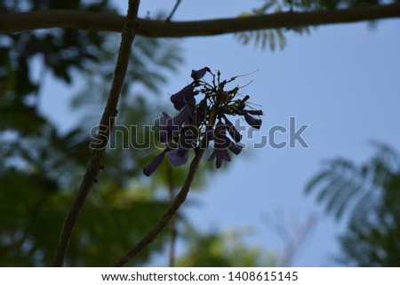 Jacaranda mimosifolia Medium-sized deciduous trees, 4-10 meters tall, transparent canopy White-brown bark, light purple leafy leaves with a delicate aroma Into a bunch of bunches, split into 5 lobes,  #1408615145