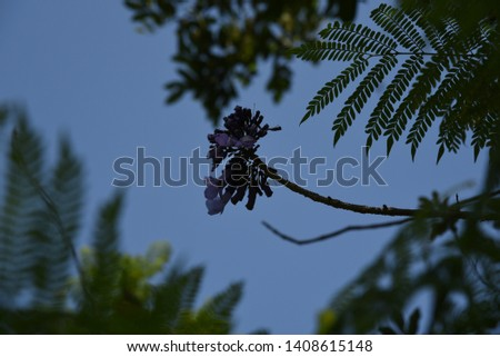 Jacaranda mimosifolia Medium-sized deciduous trees, 4-10 meters tall, transparent canopy White-brown bark, light purple leafy leaves with a delicate aroma Into a bunch of bunches, split into 5 lobes,  #1408615148