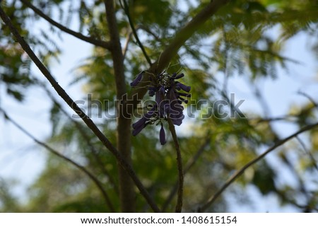 Jacaranda mimosifolia Medium-sized deciduous trees, 4-10 meters tall, transparent canopy White-brown bark, light purple leafy leaves with a delicate aroma Into a bunch of bunches, split into 5 lobes,  #1408615154
