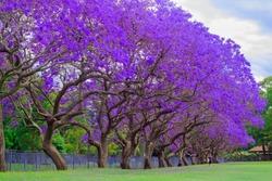 jacaranda tree at full bloom at kogarah, australia
