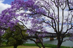 Jacaranda Tree in Bloom obscuring Historic Grafton Bridge over the Clarence River