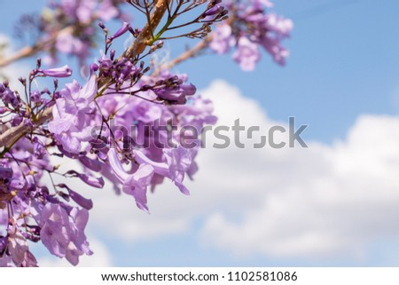 jacaranda, tree, perth, brisbane, blue, beautiful, nature, purple, flower, background, plant, spring, green, color, australia, day, sky, white, natural, season, floral, garden, flowers, branch, blosso