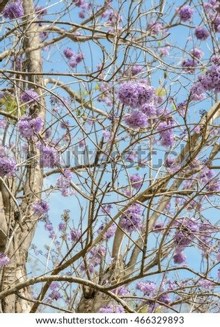 Vector Images Illustrations And Cliparts Jacaranda Tree With