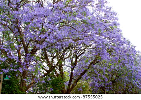 Jacaranda trees lining the street in Cape Town, South Africa, purple bloom in October