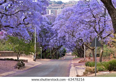 jacaranda trees lining the street in Pretoria, South Africa, purple bloom in October,with government Union buildings in the distance