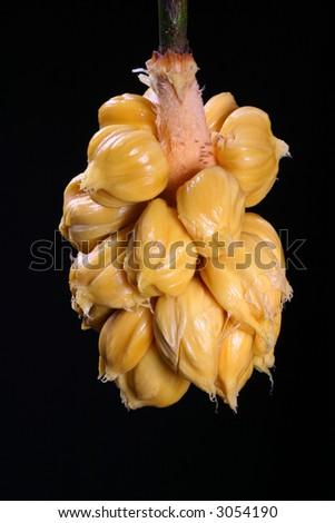 jackfruit thesis
