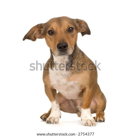 Jack Russe Sitting In Front Of White Background And Facing The Camera