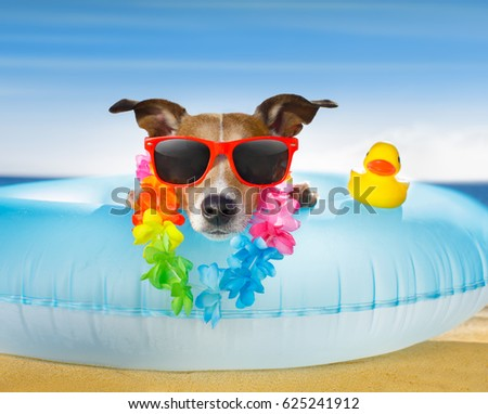 jack russel dog resting and relaxing on a air mattress or swim ring   at the beach ocean shore, on summer vacation holidays #625241912