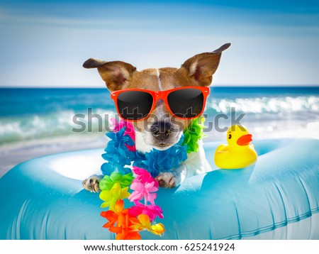 jack russel dog resting and relaxing on a air mattress or swim ring   at the beach ocean shore, on summer vacation holidays #625241924