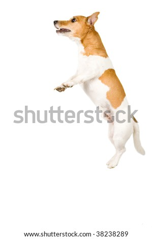 jack russel is jumping high isolated on white