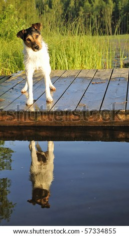 Jack Russel on a bridge