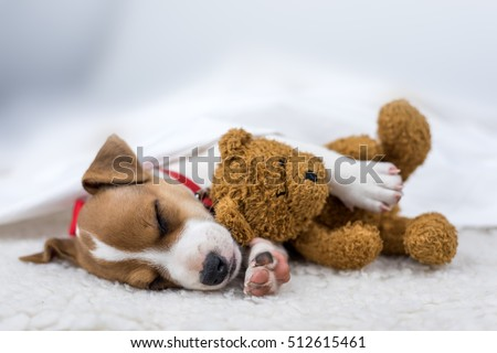 jack russel puppy on white carpet #512615461
