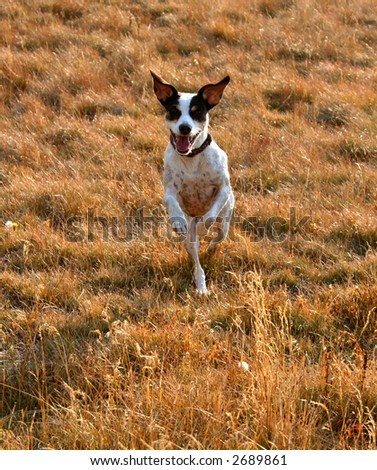 Jack Russel Terrier appears to be running on two legs