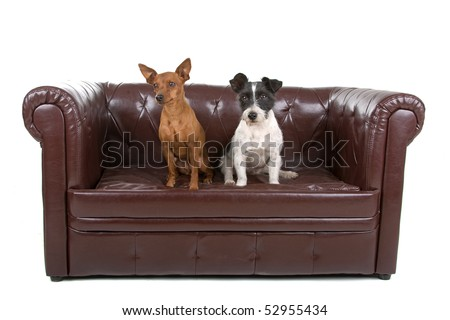 jack russel terrier dog and miniature pinscher  on a couch isolated on white