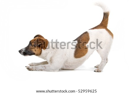 jack russel terrier dog on a white background