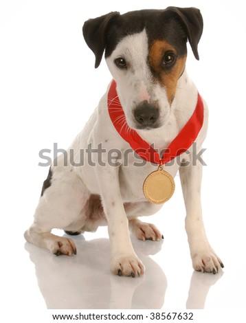jack russel terrier dog sitting wearing prize winning medal