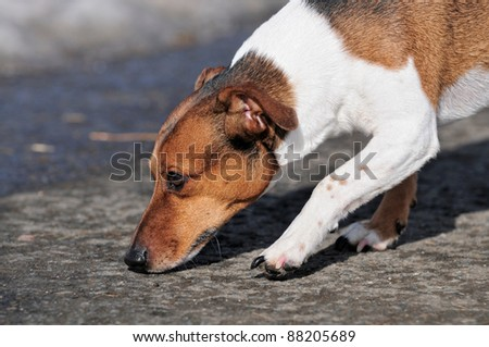 Jack Russel Terrier Dog smells on the street in winter