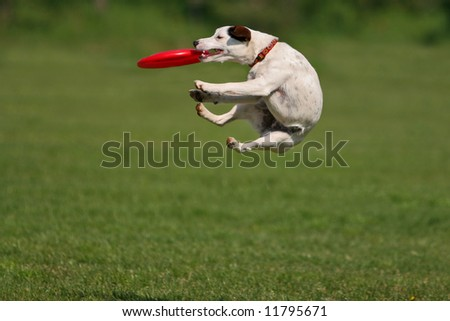 Jack russel terrier during a funny frisbee catch... #11795671