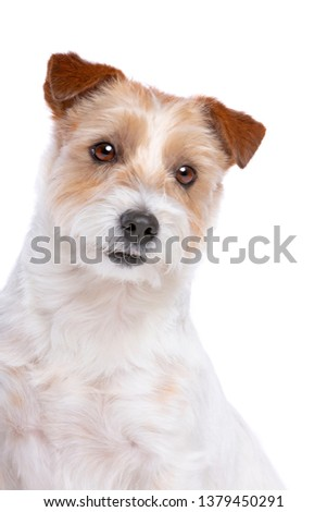 Jack Russel Terrier in front of a white background #1379450291