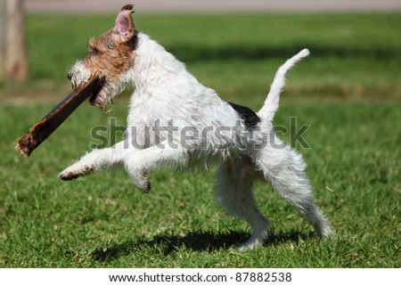 Jack Russel Terrier playong outdoors - stock photo