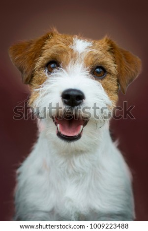 Jack russel terrier portrait Foto stock ©