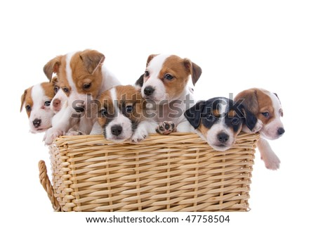 Terrier Puppy Isolated Tibetan Terrier Puppy Isolated Find Similar ...