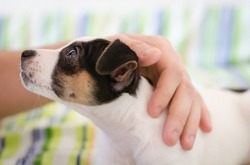 Jack russel terrier puppy is lying on the bed with colorful linens and the human's hand stroking dog, confidence trust concept, love between dog and human, soft focus, blur hand