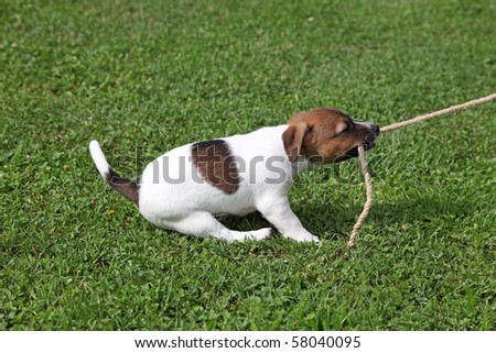 Jack Russel Terrier tugging on a rope