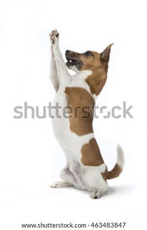 Jack Russell #463483847