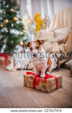 Jack Russell dog at the Christmas tree 2015