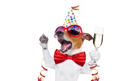 jack russell dog celebrating new years eve with champagne and singing out loud, isolated on white background