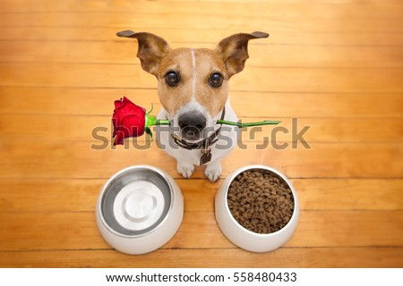 Jack russell dog in love on valentines day, rose in mouth, food and water bowls and cool gesture,isolated on wood background #558480433