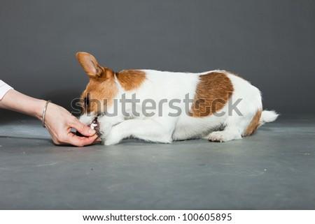 Jack russell dog isolated on grey background. Studio shot.