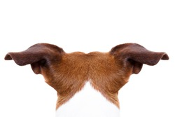 jack russell dog looking and staring somewhere, from behind back rear torso, isolated on white background