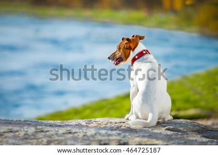Jack russell dog missing and thinking about the past and future outdoors , watching the horizon #464725187