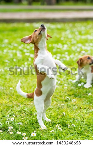 jack russell dog on grass meadow #1430248658