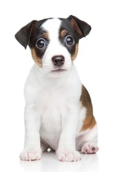 Jack Russell dog puppy. Portrait on white background