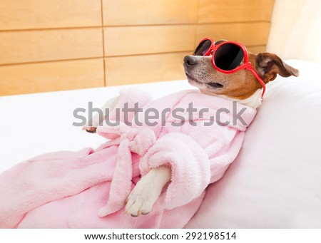 jack russell dog relaxing  and lying, in   spa wellness center ,wearing a  bathrobe and funny sunglasses