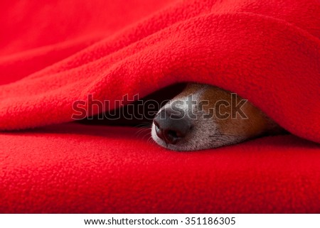 jack russell dog  sleeping under the blanket in bed the  bedroom, ill ,sick or tired,  red sheet covering its face