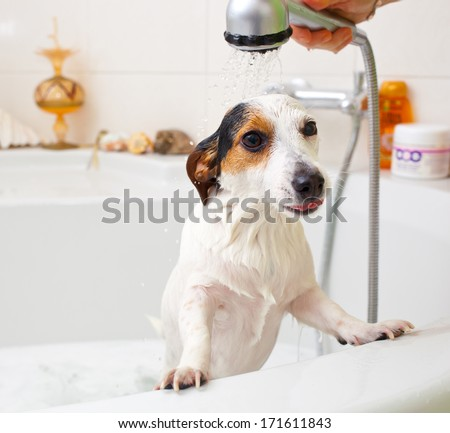 Jack Russell dog taking a bath in a bathtub