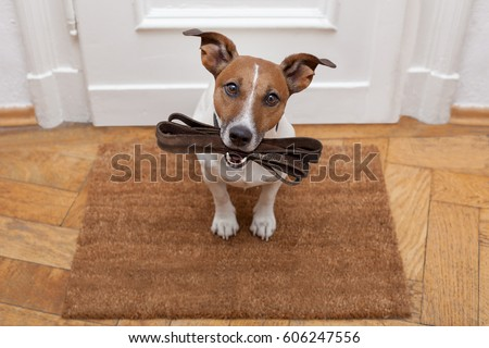 jack russell dog  waiting a the ...