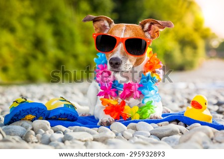 jack russell dog  with a summer  rubber duck and flip flops lying on a blue towel, near the river outdoors, sunbathing with funny sunglasses