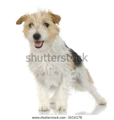 Jack russell long haired in front of a white background #3616178