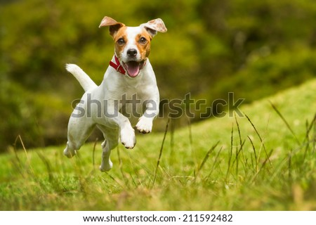 JACK RUSSELL PARSON TERRIER RUNNING TOWARD THE CAMERA, LOW ANGLE HIGH SPEED SHOT
