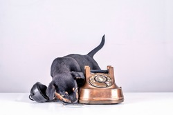 Jack Russell puppy dog is sniffing an old copper and Bakelite telephone. Telephone receiver is next to the telephone. With old dial and retro classic telephone head. With a retro vintage instagram