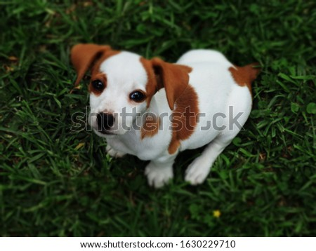 Jack Russell puppy. puppy dog eyes